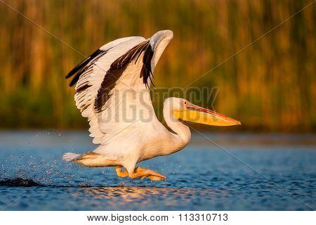 Starting white pelican (Romania the Danube Delta)