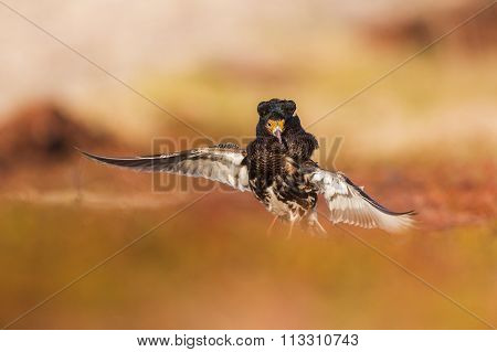 Male ruff on a spring meadow