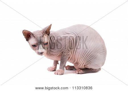 Sphynx Cat On White Background