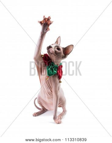 Sphynx Cat Playing In Holidays Collar