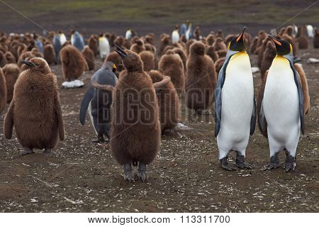 King Penguins - Adults and Chicks