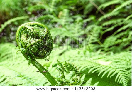Fern bud with drop of water