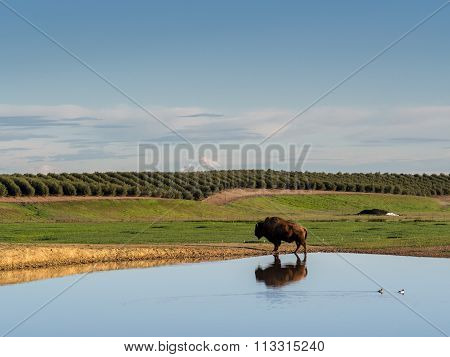 Lone buffalo reflected in a pond