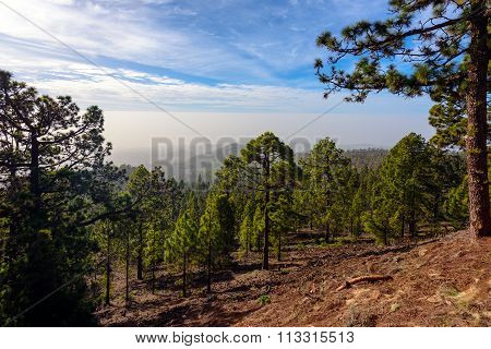 Green Forest with Fir Trees on Mountains on Tenerife island, Spain