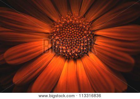 Calendula Officinalis Flower - Burnt Orange/Red