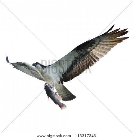 Digital Painting of Osprey with Fish in Flight,isolated on white