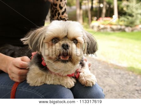Morkie Lap Dog