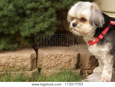 Morkie Dog Outside