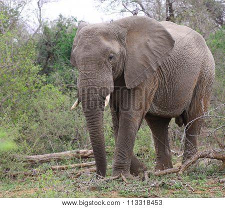 elephant at kruger national park.