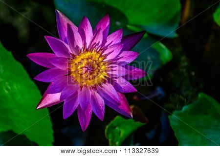 Purples lotus