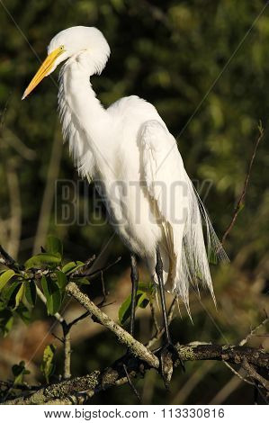 Great Egret Near The Nest