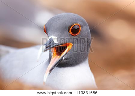 Portrait Of Swallow-tailed Gull On North Seymour Island, Galapagos National Park, Ecuador