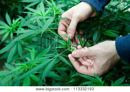 Farmer checking his marijuana plants