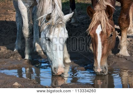 white and brown horses drinks water