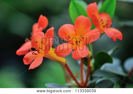 Orange Red Vireyas Rhododendrons
