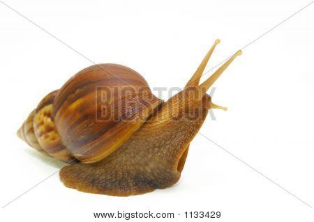 Snail-C