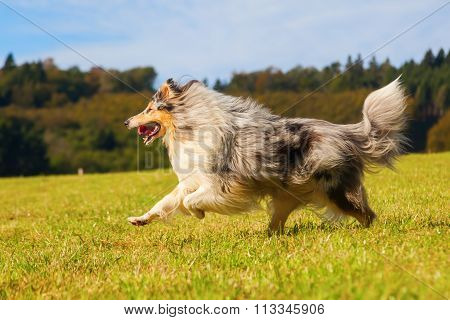 blue merle colored collie dog running on the meadow