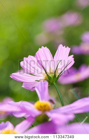 Cosmos Flowers Blooming In The Garden. Beautiful Floral Use As Background.