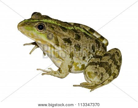Frog On A White Background