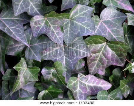 English Ivy, Hedera Helix Background