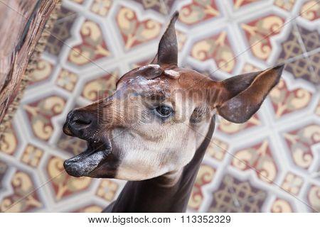 Close-up Of An Okapi