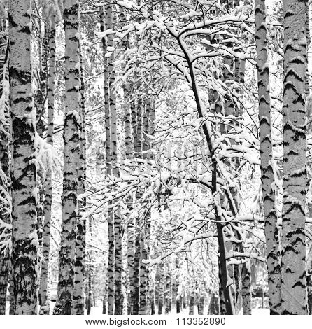 Snowy Trunks Of Birches Black And White