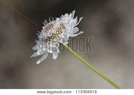 White Scabiosa (pincushion Flower)
