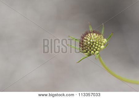 Scabiosa (pincushion Flower) Pre Bloom
