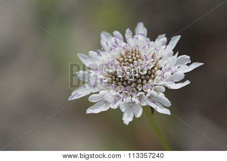 White Scabiosa (pincushion) Flower Head