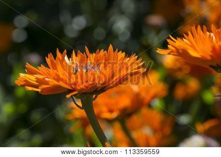 Calendula Officinalis Greenheart Orange Garden