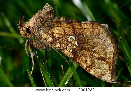 Golden plusia moth (Polychrysia moneta) at rest showing extraordinary palps