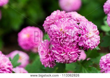 Pink Rose De Rescht In The Garden