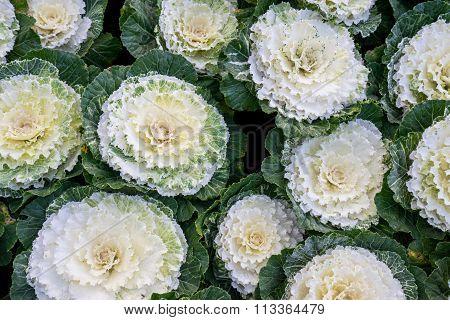 Close Up Of  Cabbage (brassica Oleracea Capitata Group)