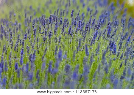 Particular Field Of Lavender With Bee