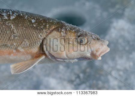 Fish (leuciscus Brandti)