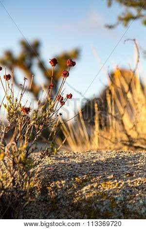 Winter Buckwheat california joshua tree national park