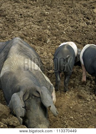 Muddy pigs in field