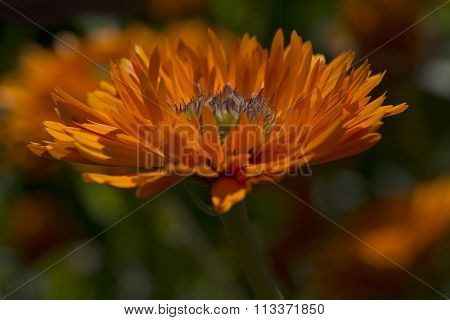 Calendula Officinalis Greenheart Orange In Garden Bed