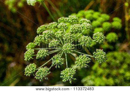 Angelica Archangelica, Wild Celery