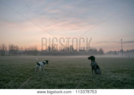 Two young dog on morning walk, foggy sunrise