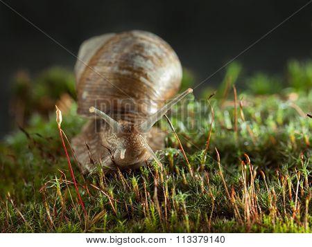Snail Portrait In Moss