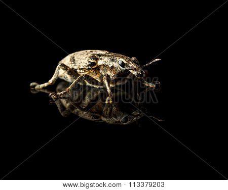 Black Vine Weevil On Black