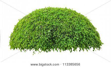 Beautiful Green Fresh Ornamental Tree Isolated On White Background