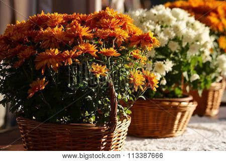 Set Of Orange Chrysanthemum Flowers