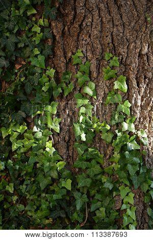 Ivy Liana On Tree Trunk
