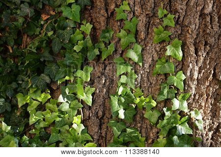 Tree Trunk Covered By Ivy
