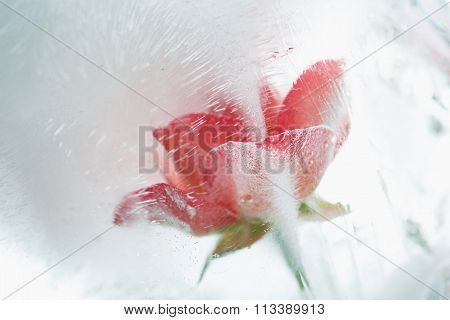 Ice Cold Rose