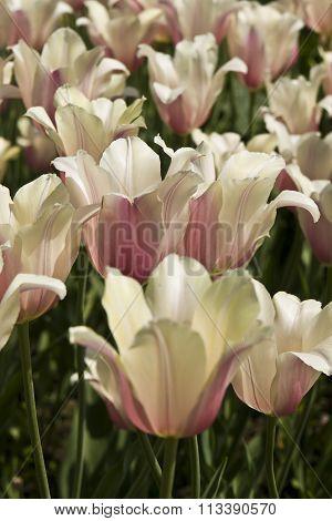 Pink-white Tulips