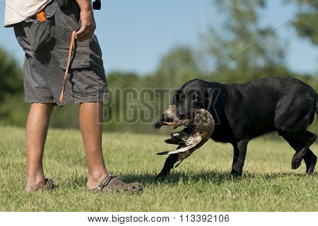 Black Lab in training