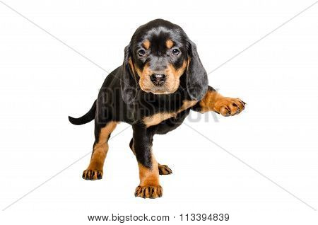 Puppy breed Slovakian Hound standing with a raised paw